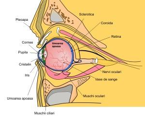 anatomia-globului-ocular
