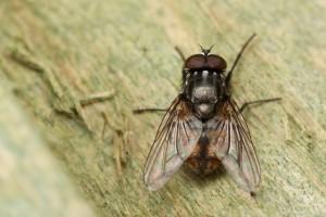 Autumn House-fly Musca autumnalis