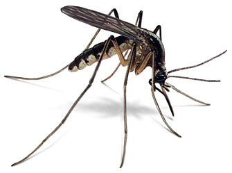 The Mosquito: A Brand-New Body