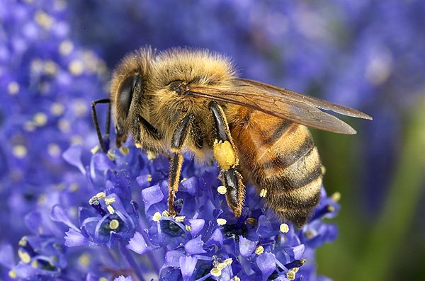 We should not forget that it is impossible for this fact to have been known about the honey bees in the time of the Prophet Muhammad (pbuh). Yet, Allah has pointed at this fact and shown us yet another miracle of the Qur'an.