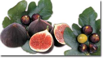 Despite being one of the oldest fruits known to man, the fig-described as