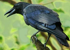 Latest research shows a very unexpected candidate for the top position in animal intelligence, the black bird, which many cultures consider as a harbinger of ill fate and death (maybe because of its solemn role of burial in the story above?), this super intelligent bird is the raven!