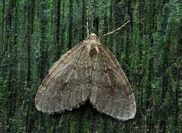 This moth species is created together with a special heating system that enables it to live under winter conditions. This system consists of several complementary features.