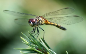 The sight of the dragonfly is as impressive as is its ability to perform sudden maneuvers at high speed.