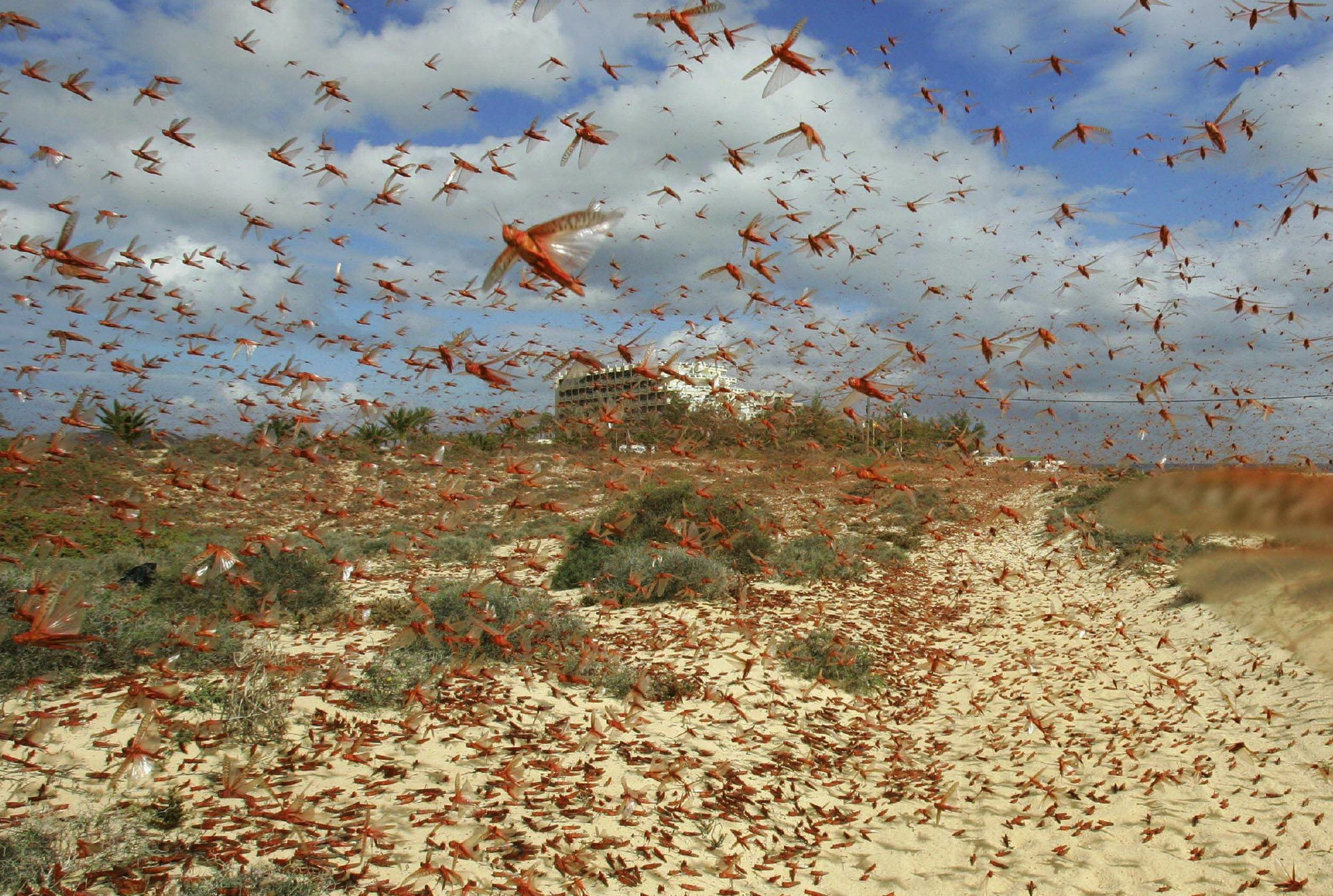 Locusts Moving in Swarms
