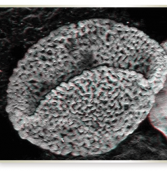 Discovering a 240-Million-Year-Old Pollen Fossil