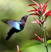 Hummingbirds and Nectar