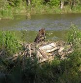 Beaver Dams as Engineering Projects
