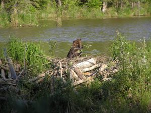 Beavers build their dams of plant matter and stones, in a manner similar to their nests
