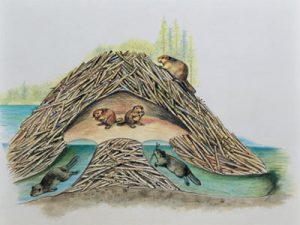 beaver-dams-as-engineering-projects2