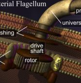 The Bacterial Flagellum