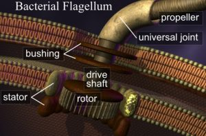 "The bacterial flagellum is clear evidence that even in supposedly ""primitive"" creatures there is an extraordinary design."