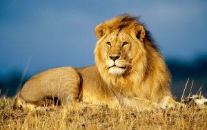 Lions' killer