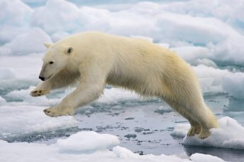 The Amazing Features of the Polar Bear