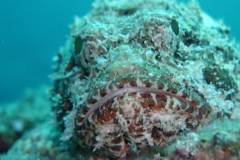 The Skilful Camouflage of the Scorpion Fish