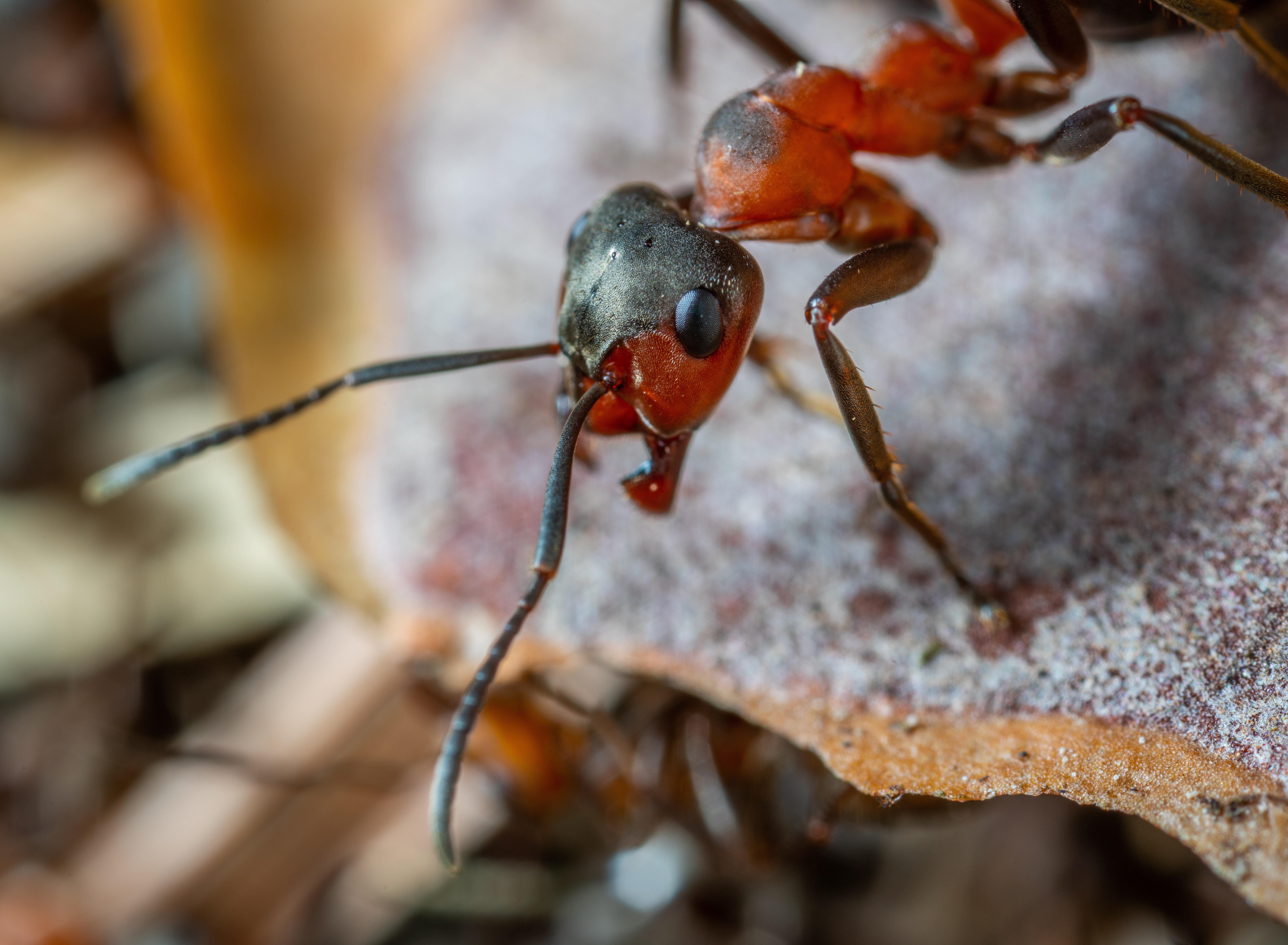 Legionary Ants