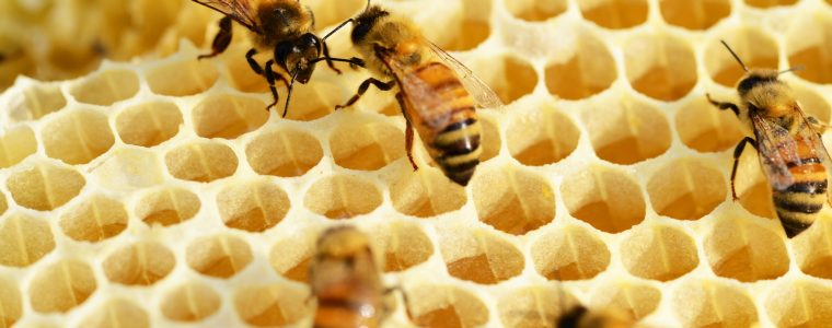 The Behavior of Bees: Dilemma for Evolutionists