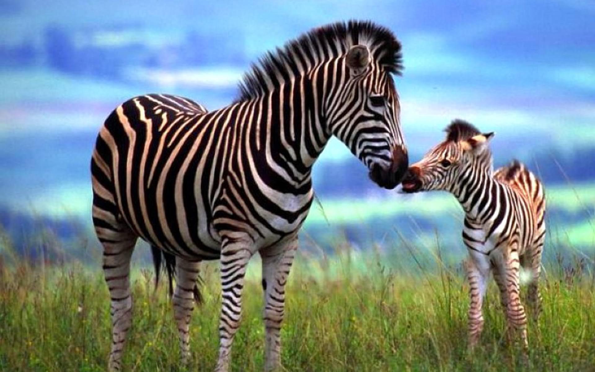 The Creation of Zebra Stripes