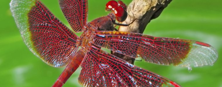 Dragonflies: Flight Machines