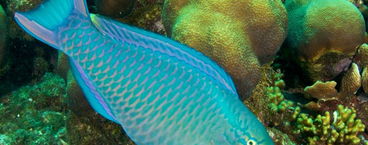 The Sleeping Bag of the Parrotfish